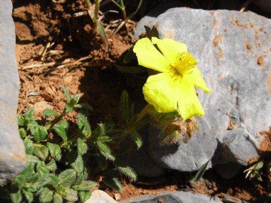 Maroc - flore de l'Atlas marocain Helian10
