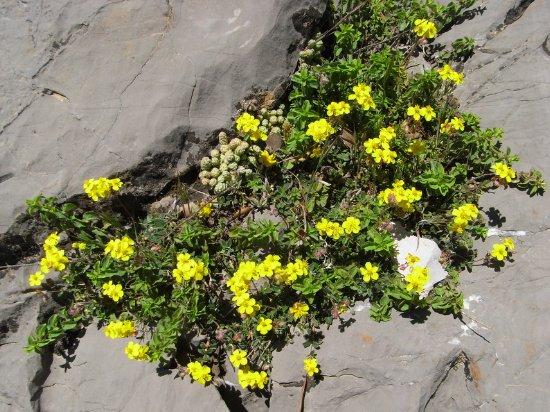 Maroc - flore de l'Atlas marocain Helian11
