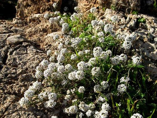 Maroc - flore de l'Atlas marocain Iberis11