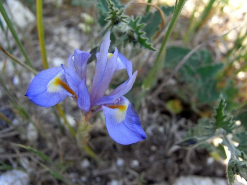 Iris unguicularis Iris_f10