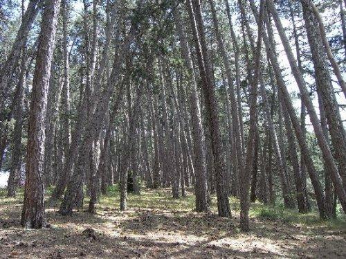 Forêt de Lus-La-Croix-Haute - Pinus negra Juille11