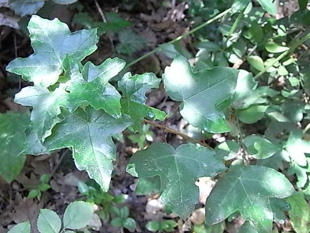 Acer monspessulanum - érable de Montpellier Juin_213