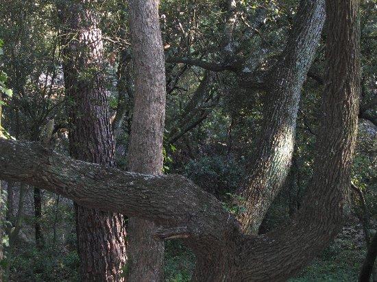 Quercus ilex - chêne vert Juin_215