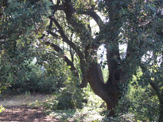 Quercus ilex - chêne vert Juin_216