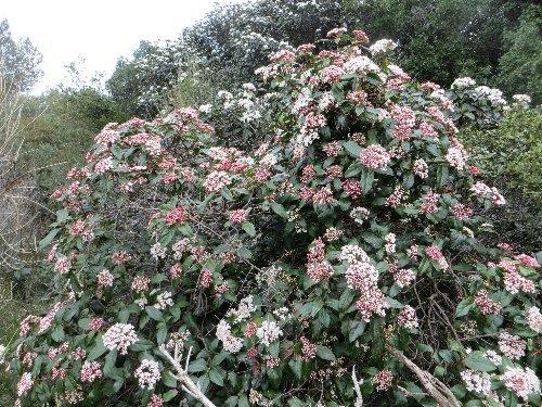 Viburnum tinus - viorne tin, laurier tin La_cio10