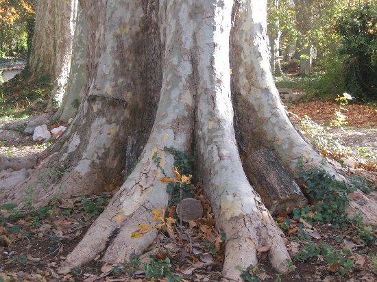 Les platanes et autres arbres vénérables chez Claire Le_plu10