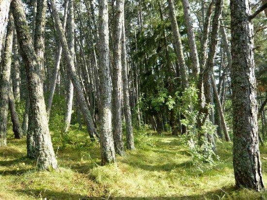Forêt de Lus-La-Croix-Haute - Pinus negra Lus_la10