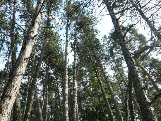Forêt de Lus-La-Croix-Haute - Pinus negra Lus_la11