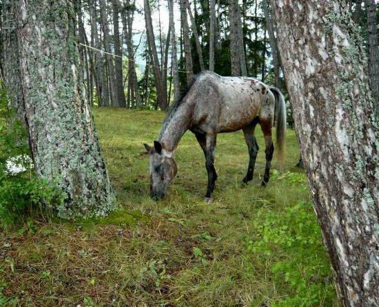 Forêt de Lus-La-Croix-Haute - Pinus negra Lus_la12