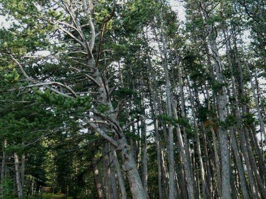 Forêt de Lus-La-Croix-Haute - Pinus negra Lus_la13