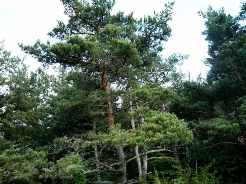 Forêt de Lus-La-Croix-Haute - Pinus negra Lus_la16