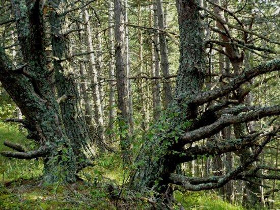 Forêt de Lus-La-Croix-Haute - Pinus negra Lus_la17