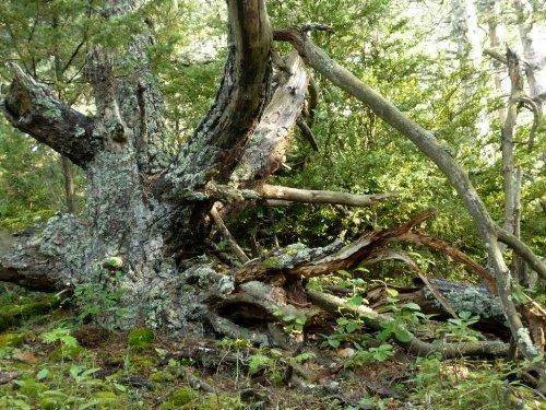 Forêt de Lus-La-Croix-Haute - Pinus negra Lus_la21