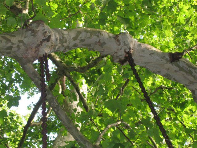 Les platanes et autres arbres vénérables chez Claire Mai_2010
