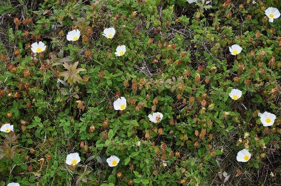Cistus salviifolius - ciste à feuille de sauge Mai_2011