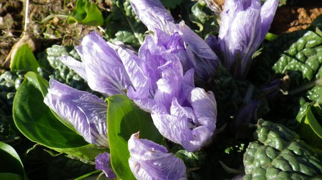 Maroc - flore de l'Atlas marocain Mandra10