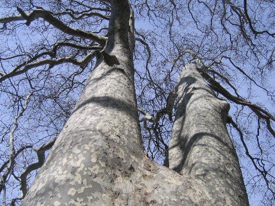 Les platanes et autres arbres vénérables chez Claire Mars_210