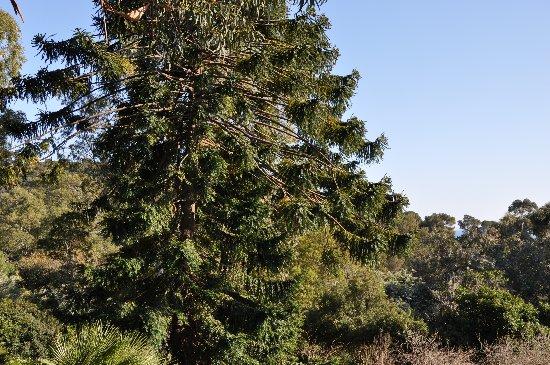 Araucaria araucana - désespoir du singe Mars_214