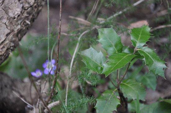 Quercus ilex - chêne vert Mars_216