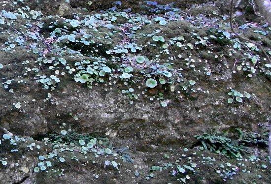 Umbilicus rupestris - nombril de Vénus - Page 2 Mars_226