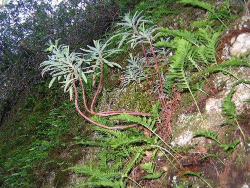 Euphorbia characias Nature16