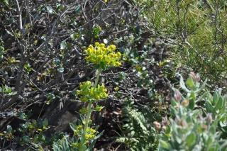 Euphorbia characias Notre_11