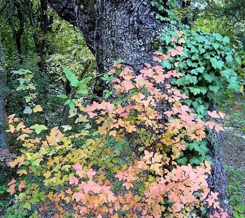 Acer monspessulanum - érable de Montpellier Novemb12
