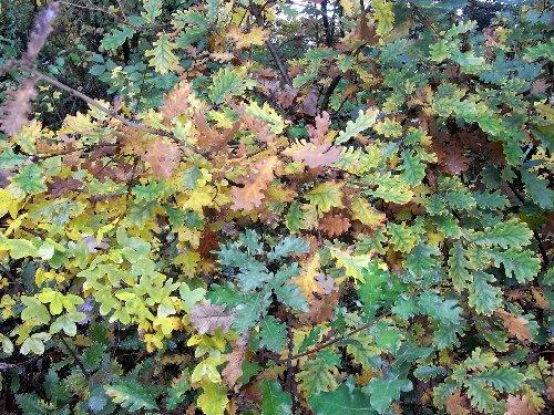 Acer monspessulanum - érable de Montpellier Novemb13