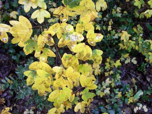 Acer monspessulanum - érable de Montpellier Novemb14