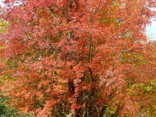 Acer monspessulanum - érable de Montpellier Novemb15