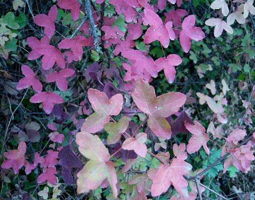 Acer monspessulanum - érable de Montpellier Octobr15