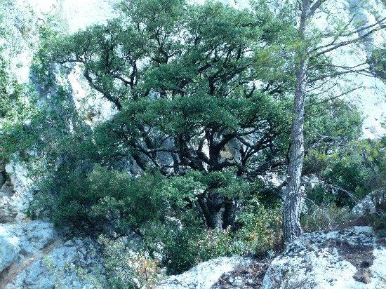 Quercus ilex - chêne vert Octobr21
