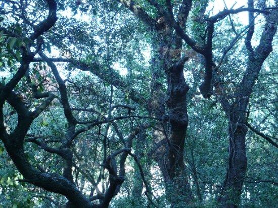 Quercus ilex - chêne vert Octobr24