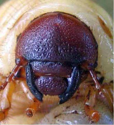 larves : cétoine ou hanneton ? Oryct110