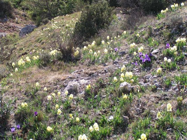 Iris lutescens - iris des garrigues, iris jaunâtre P1010111