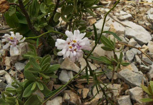 Iberis linifolia - [identification] P1280910