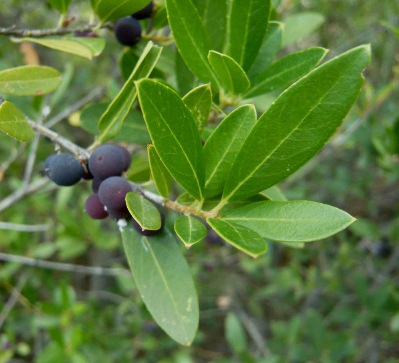 Olea europaea - olivier sauvage P_angu10