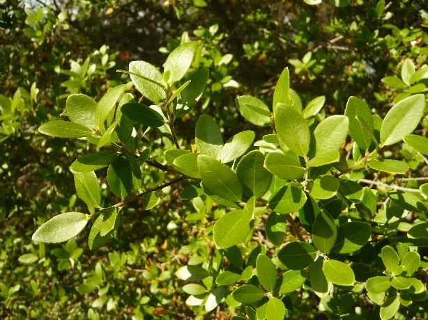 Olea europaea - olivier sauvage P_lati10