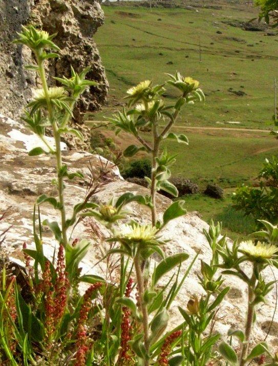 Maroc - flore de l'Atlas marocain Pallen11