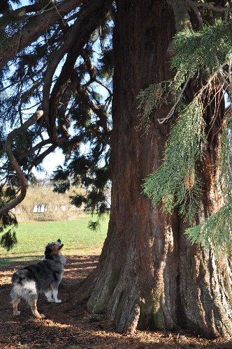 Sequoiadendron giganteum - séquoia géant Paris_15