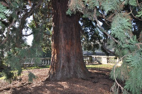 Sequoiadendron giganteum - séquoia géant Paris_16