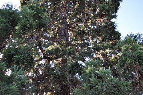 Sequoiadendron giganteum - séquoia géant Paris_17
