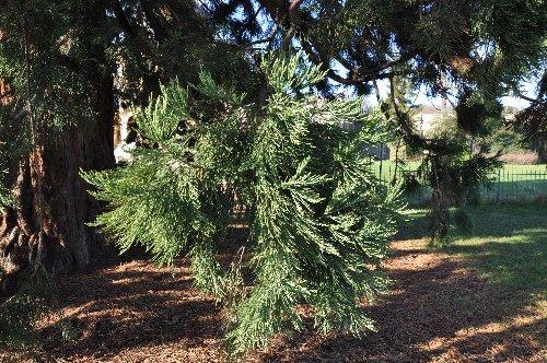 Sequoiadendron giganteum - séquoia géant Paris_18