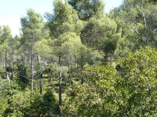 Quercus ilex - chêne vert Paris_19