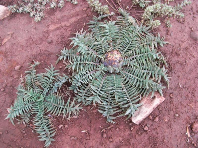 Maroc - flore de l'Atlas marocain Rhapon10
