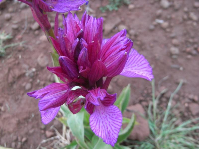 Maroc - flore de l'Atlas marocain Rimg0015