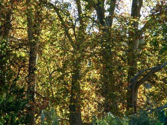 Les platanes et autres arbres vénérables chez Claire Rimg0110