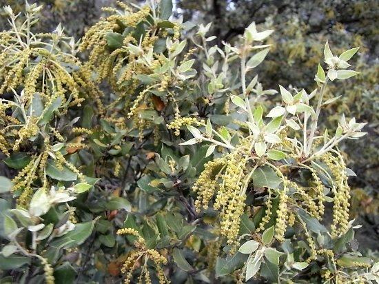 Quercus ilex - chêne vert Rimg3410