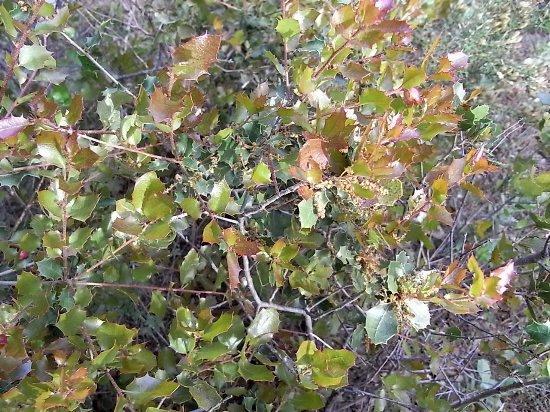 Quercus ilex - chêne vert Rimg3413