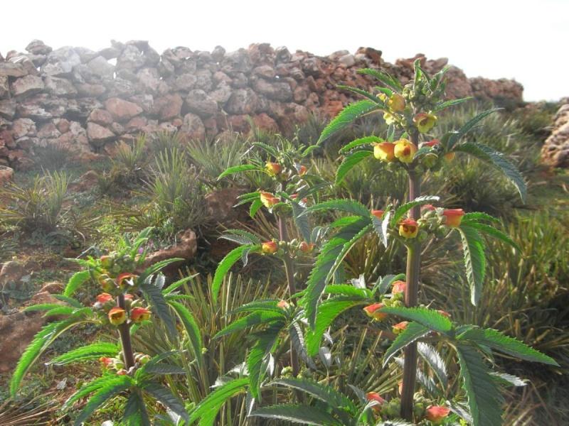 Maroc - flore de l'Atlas marocain Scroph10
